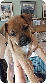 American Bulldog/Hound (Unknown Type) Mix Puppy for adoption in Orange Lake, Florida - Scout