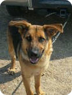 German Shepherd Dog Mix Dog for adoption in Olympia, Washington - Thor