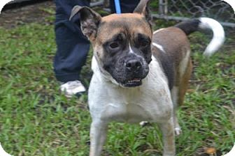 Boxer/Terrier (Unknown Type, Small) Mix Dog for adoption in Miami, Florida - Brandy