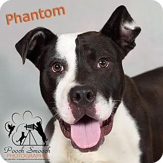 American Staffordshire Terrier Mix Dog for adoption in Broadway, New Jersey - Phantom
