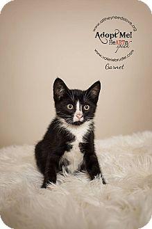 Domestic Shorthair Kitten for adoption in Medford, New Jersey - Garnet