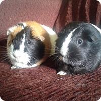 Adopt A Pet :: Pulsar & Nova - San Antonio, TX
