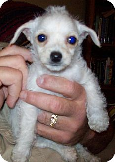 Poodle (Miniature)/Maltese Mix Puppy for adoption in Von Ormy, Texas - Curly