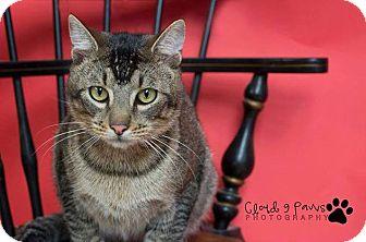 Abyssinian Cat for adoption in Seattle, Washington - Joffrey