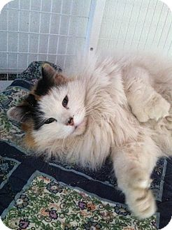 Domestic Longhair Cat for adoption in Gunnison, Colorado - Kali