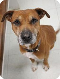 Rhodesian Ridgeback/Labrador Retriever Mix Dog for adoption in Yukon, Oklahoma - Ross