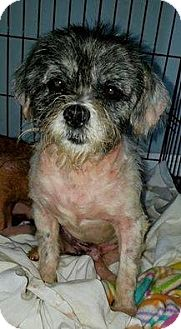 Shiba Inu Mix Dog for adoption in Ft. Lauderdale, Florida - Chandler