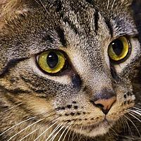 Manx Cat for adoption in Durham, North Carolina - Timon