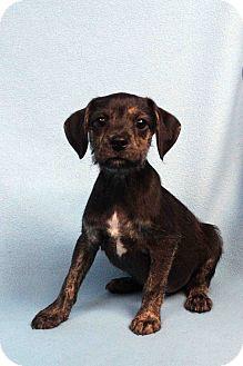 Dachshund/Miniature Schnauzer Mix Puppy for adoption in Westminster, Colorado - Bo
