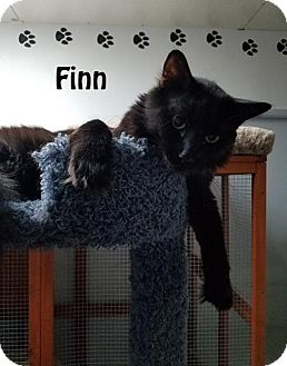 Domestic Longhair Cat for adoption in Redwood City, California - Tiny and Finn
