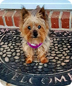 Yorkie, Yorkshire Terrier Dog for adoption in Ashland City, Tennessee - Gunner