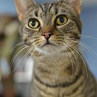 Domestic Shorthair Cat for adoption in Atlanta, Georgia - Roscoe151508
