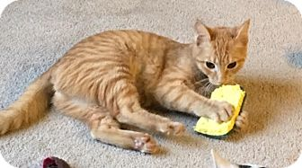 Domestic Shorthair Cat for adoption in Nashville, Tennessee - Augusta