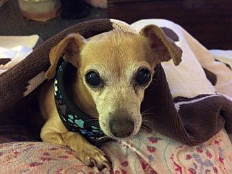 Chihuahua/Dachshund Mix Dog for adoption in San Diego, California - Noah