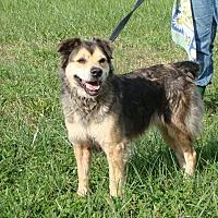 Shepherd (Unknown Type) Mix Dog for adoption in Cameron, Missouri - Emma