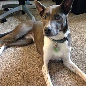 Border Collie/Basenji Mix Dog for adoption in Colorado Springs, Colorado - Eve