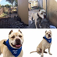 Pit Bull Terrier Mix Dog for adoption in Tampa, Florida - Tide