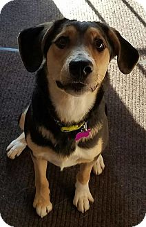 Black Mouth Cur/Treeing Walker Coonhound Mix Dog for adoption in Lisbon, Iowa - Molly