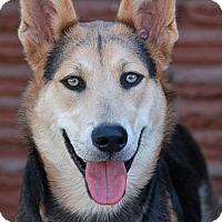 Adopt A Pet :: Sheba von Shuster - Los Angeles, CA