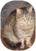 Domestic Shorthair Cat for adoption in Medford, Massachusetts - MooShu