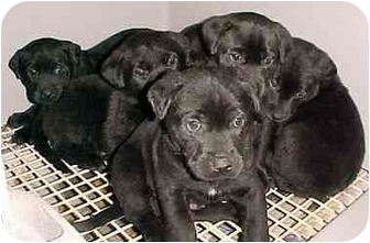 Labrador Retriever Puppy for adoption in North Judson, Indiana - 6 Lab Pups