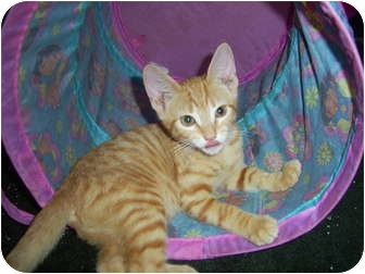 Domestic Shorthair Kitten for adoption in Mobile, Alabama - Andy