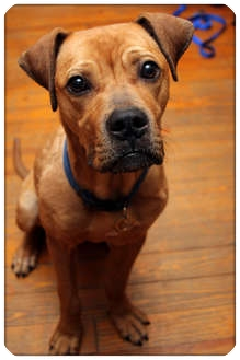 Boxer/Terrier (Unknown Type, Medium) Mix Dog for adoption in Sterling Heights, Michigan - Howie - ADOPTED!