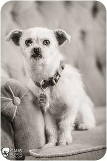 Cairn Terrier Mix Dog for adoption in Portland, Oregon - Willie