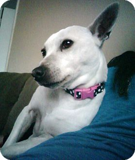 Jack Russell Terrier/Chihuahua Mix Dog for adoption in Los Angeles, California - URGENT!  Peanut