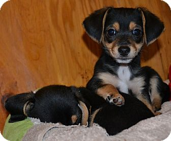 Dachshund/Chihuahua Mix Puppy for adoption in Decatur, Georgia - Pacino