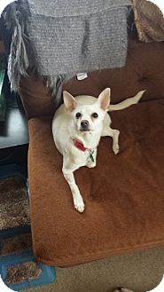 Chihuahua Mix Dog for adoption in Homer, New York - Luna