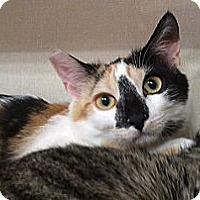 Calico Cat for adoption in Woodland Hills, California - Zoe