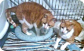 Domestic Shorthair Cat for adoption in Davis, California - Cocoa and Tiger