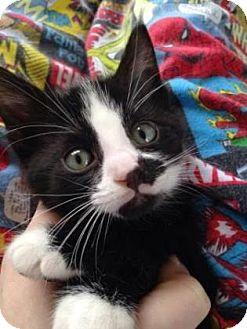 Domestic Shorthair Kitten for adoption in West Des Moines, Iowa - Izzie