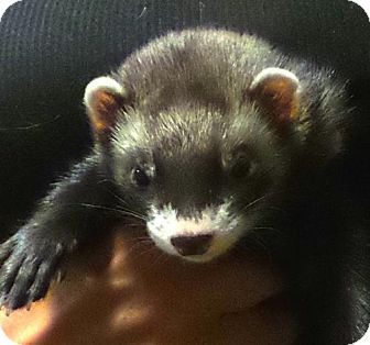 Ferret for adoption in Coconut Creek, Florida - Chong and Cheech