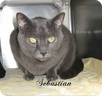 Domestic Shorthair Cat for adoption in Jackson, New Jersey - Sebastian