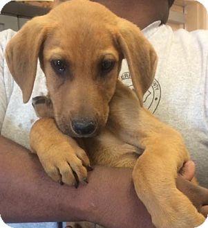 Hound (Unknown Type)/Labrador Retriever Mix Puppy for adoption in Lyndhurst, New Jersey - Elroy