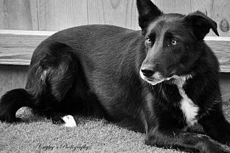 Border Collie Dog for adoption in Evansville, Indiana - Magic