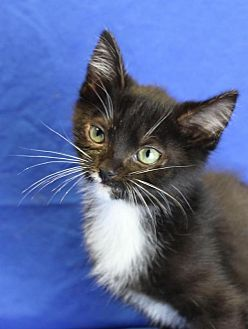 Domestic Shorthair Kitten for adoption in Winston-Salem, North Carolina - Page