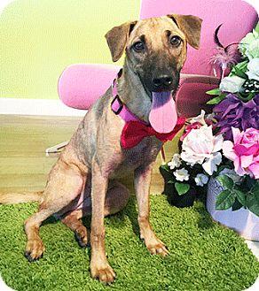 Labrador Retriever Mix Dog for adoption in Castro Valley, California - Sassy