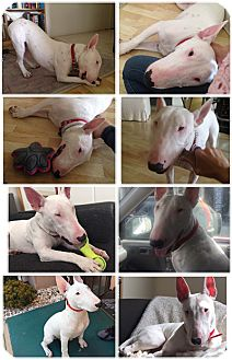 Bull Terrier Puppy for adoption in Los Angeles, California - Bondo