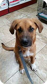 St. Bernard/Shepherd (Unknown Type) Mix Puppy for adoption in Overland Park, Kansas - Rascal