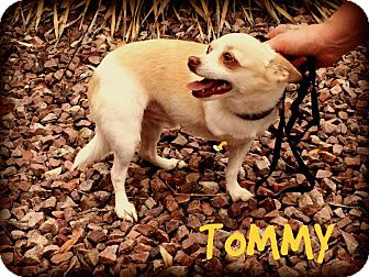 Chihuahua Dog for adoption in Phoenix, Arizona - TOMMY