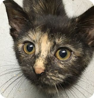 Domestic Shorthair Kitten for adoption in Clayville, Rhode Island - Tori -- Kitten!
