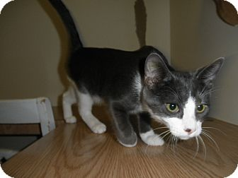 Domestic Shorthair Kitten for adoption in Milwaukee, Wisconsin - Regatta