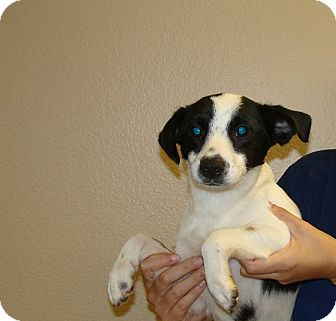 Jack Russell Terrier/Rat Terrier Mix Dog for adoption in Oviedo, Florida - Thunder