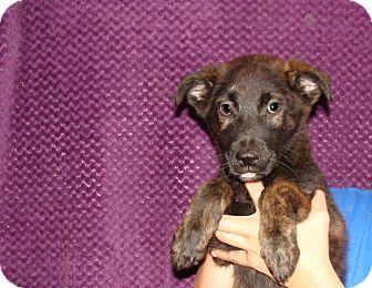 Australian Shepherd/Golden Retriever Mix Puppy for adoption in Oviedo, Florida - Zelda