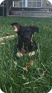 German Shepherd Dog Mix Puppy for adoption in Walnut Creek, California - Willow