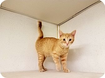 Domestic Shorthair Cat for adoption in Indianola, Iowa - C-20