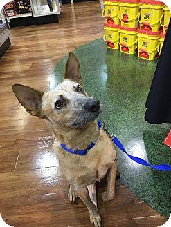 Australian Cattle Dog/Australian Kelpie Mix Dog for adoption in Palm City, Florida - FOXY